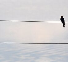 Welcome swallow overlooking the lake by gogston