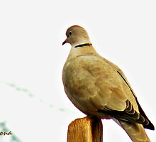 Ring Neck Dove by Winona Sharp