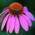 Purple Coneflower Delight by Debbie Oppermann