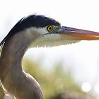 great blue heron head from gatorland in florida by 1busymom