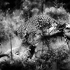 Hwange Leopard by Olwen Evans