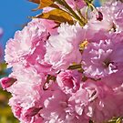 Beautiful pink cherry blossoms by Brian D. Campbell