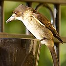Australian native ButcherBird #1 by johnrf