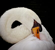 Portrait of a swan by oakhillside