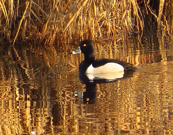 Ring-necked Duck by lorilee