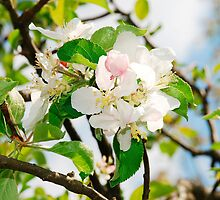 Spring Apple Blossom by jojobob