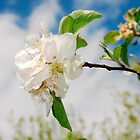 Spring Blossom on Apple Tree by jojobob