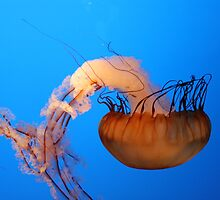 Jellyfish by Sheryl Hopkins