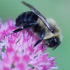 Adirondack Bee by Kirstyshots