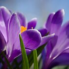 Good Friday Crocus by Kathy Nairn