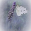 Cabbage white by Jan Pudney