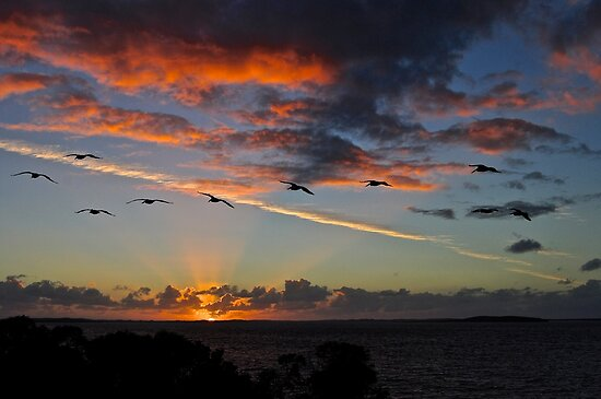 Pelicans heading into the sunset by Ian Berry