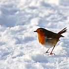 Robin Red, Emberton, Bucks, UK by strangelight