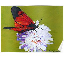 Scabious with butterfly Poster