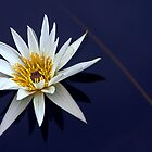 White waterlily, blue water by cclaude