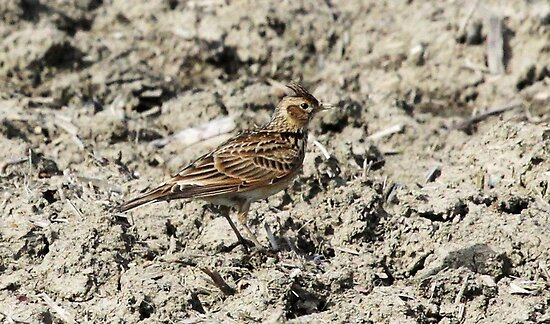 Skylark by webbo