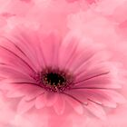 Pretty In Pink Gerbera Daisy by Diane Schuster