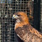 Red Tail Hawk by don thomas