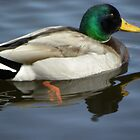 Mallard  by Tisha Clinkenbeard