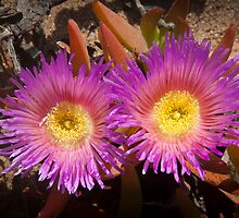 Rainbow colored cactus flowers - looking at you! by Brian D. Campbell