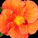 Orange Hibiscus - 'Rio Clara' by Sandy1949