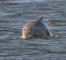 Dolphin Dive by Kathy Baccari