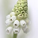 White Grape Hyacinth  by Bob Daalder