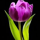 Purple Tulip by Sandy1949