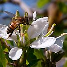 Texas Honey Bee by TeresaB