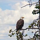 Majestic Bald Eagle in pine tree by Brian D. Campbell