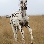 Africa&#x27;s WAPS Magic (Apaloosa Colt) by Brian Edworthy