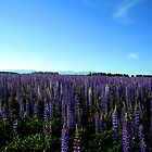 miles of lupins by cjrolston
