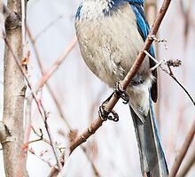 Western Scrub Jay (Aphelocoma coerulescens): Brainiac by John Williams