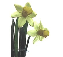 Simply Daffodils Photographic Print