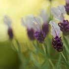 Lavender in the Sun by Melinda Anderson