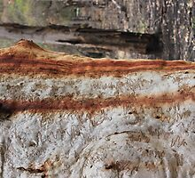 Sap on a Scribbly Gum by jackibrown