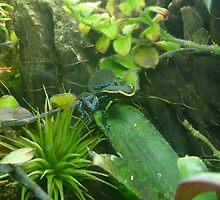 Azureiventris Dart Frog by Chad Burrall