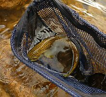 Brown Trout Curl by Chad Burrall