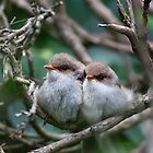 Superb Fairy Wrens by Margot Kiesskalt