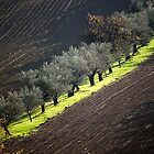 olive trees in hills of romagna by Luciano Fortini