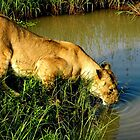 Lioness drinking water by Roseina