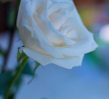 White Rose 2 by John Velocci