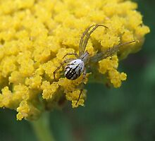 Spider On Yellow Yarrow by Tracy Faught