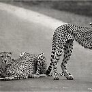 THE CHEETAH COUPLE - CHEETAH – Acinonyx jabatus – Die Jagluiperd by Magaret Meintjes