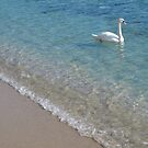 Swan in crystal clear shallow sea water by kirilart