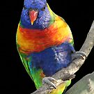 Rainbow Lorikeet  by Sandy1949