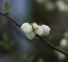 Blueberry Blossoms by Rebecca Richters