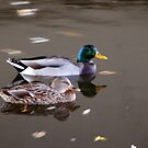On The Move Duck Refections by Tina Hailey