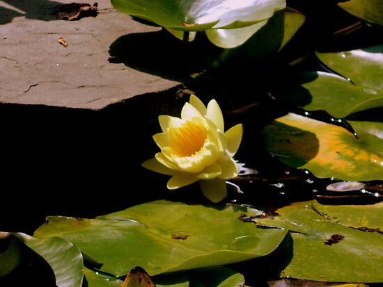 Water Lily by ctheworld