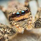 Marpissa muscosa female jumping spider by Mario Cehulic